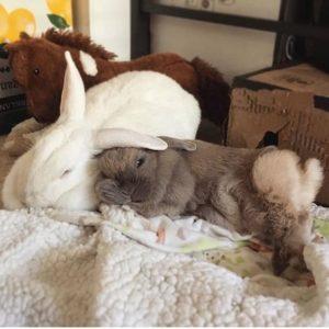 por que coelhos brigam