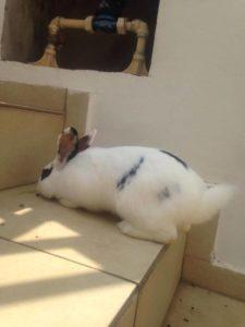 coelho adotado butantã