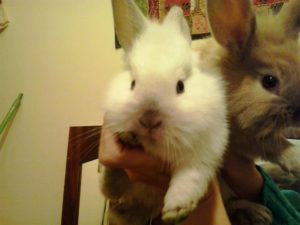 Adotar coelho