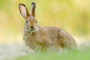 coelhos não são roedores