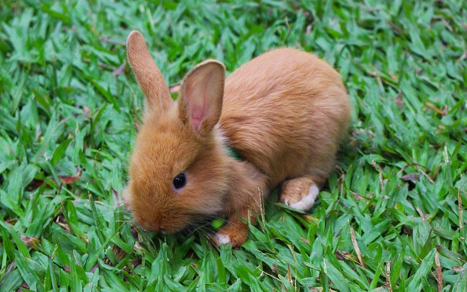 Os mitos sobre coelhos filhotes