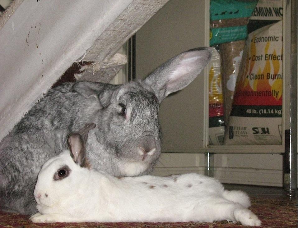 Saiba tudo sobre castração de coelhos e coelhas