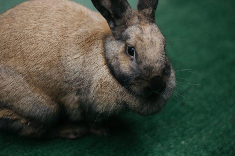 Como cuidar de um coelho com estase gastrointestinal