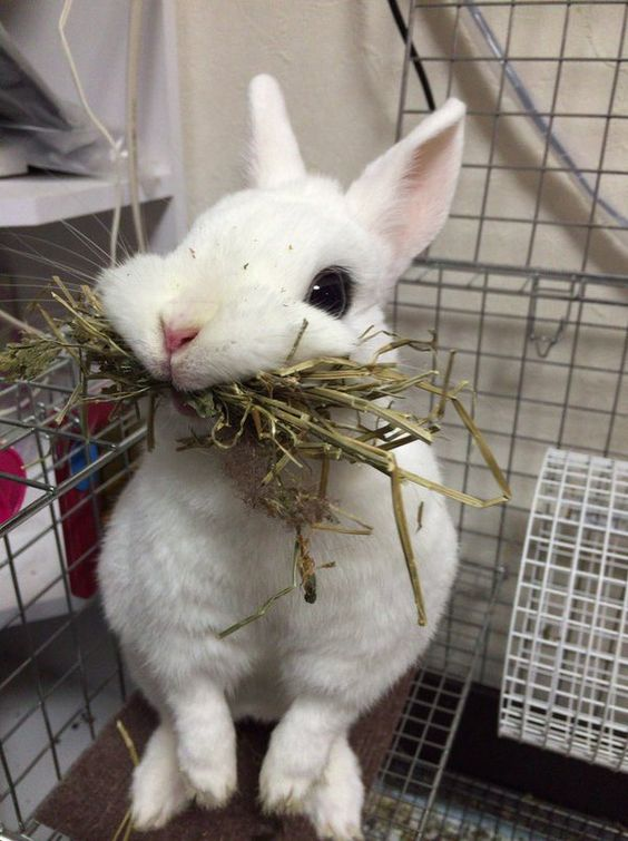 Obstrução do trato digestivo em coelhos