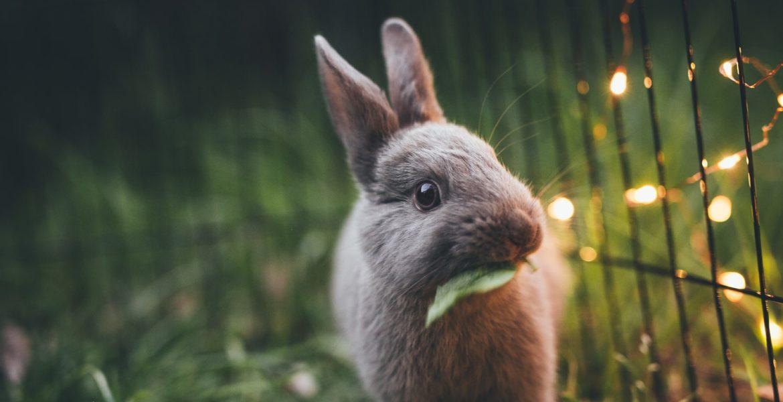 Principais causas da morte súbita em coelhos