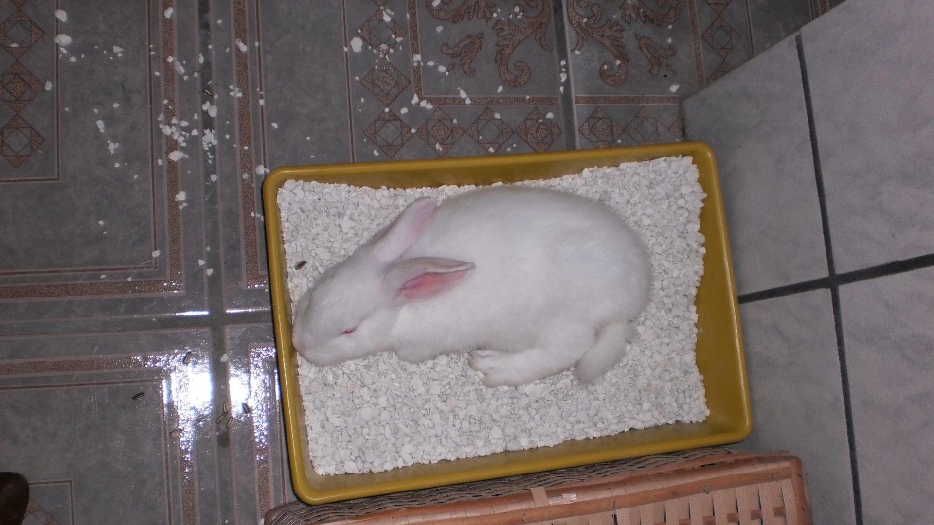 Como ensinar o coelho a usar o banheiro: tudo o que você precisa saber!