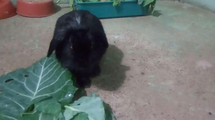 Coelho macho não castrado | Limeira/SP